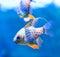 Stock Image : Pyjama Cardinal Fish