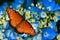 Stock Image : Queen butterfly on hydrangea flowers