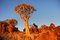 Stock Image : Quiver tree