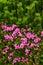 Stock Image :  Różanecznik w parku narodowym Retezat