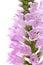 Stock Image :  Różowy Physostegia kwiat