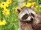 Stock Image : Raccoon and flower
