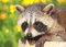 Stock Image : Raccoon resting