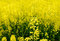Stock Image : Rapeseed kwiat