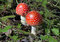 Stock Image : Red agaric