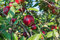 Stock Image : Red Apples on the Tree