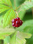 Stock Image : Red berry of the Arctic raspberry