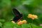 Stock Image : Red-bodied Swallowtails Butterfly