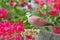Stock Image : Red Collared Dove (Streptopelia tranquebarica)