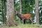 Stock Image : Red Deer buck