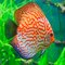 Stock Image : Red discus (Symphysodon discus)