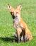 Stock Image : Red Fox Portrait