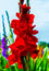 Stock Image : Red gladiolus flowers