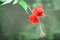 Stock Image : Red Hibiscus Flower