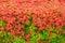 Stock Image : Red Ixora coccinea flowers