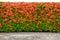 Stock Image : Red Ixora coccinea hedge and walkway