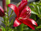 Stock Image : Red lily bush blossom