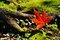 Stock Image : Red maple leaf