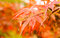 Stock Image : Red maple leaves