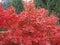 Stock Image : Red maple tree
