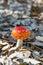 Stock Image : Red mushroom amanita muscaria