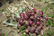 Stock Image : Red onion harvest