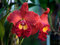 Stock Image : Red orchid flowers -Cattleya