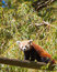 Stock Image : Red panda climbing tree