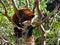 Stock Image : Red panda