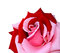 Stock Image : Red with pink rose