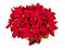 Stock Image : Red poinsettia or Christmas star flower