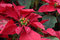 Stock Image : Red poinsettia flowers