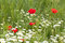 Stock Image : Red poppies with daisies