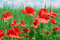 Stock Image : Red poppies