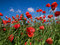 Stock Image : Red poppy in the field