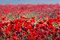 Stock Image : Red poppy field