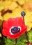 Stock Image : Red poppy flower