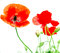 Stock Image : Red poppy