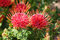 Stock Image : Red protea flowers