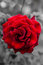 Stock Image : Red rose flower