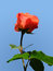 Stock Image : Red rose isolated on cyan