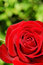 Stock Image : Red rose over green