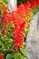 Stock Image : Red Salvia Splendens flower