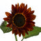 Stock Image : Red Sunflower (Helianthus annuus)