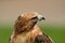 Stock Image : Red Tailed Hawk Close Up