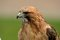 Stock Image : Red Tailed Hawk Close Up 5