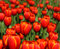 Stock Image : Red tulips blossom in garden