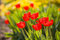 Stock Image : Red tulips in garden with more