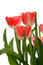 Stock Image : Red Tulips