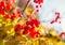Stock Image : Red Viburnum berries